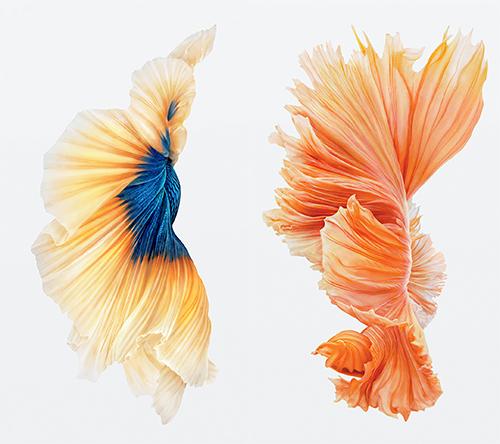 Zum Download Die Kampffische Des Iphone 6s Iphone Ticker De